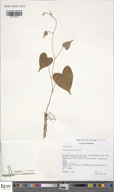Dioscorea schimperiana Hochst. ex Kunth