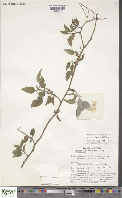 Solanum megalochiton Mart.