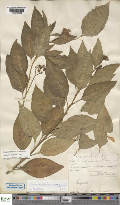 Solanum pubigerum Dunal