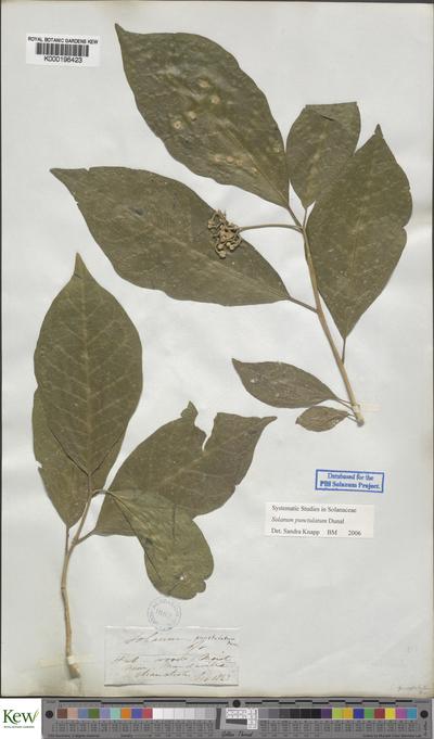 Solanum punctulatum Dunal