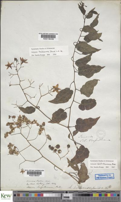 Solanum boldoense Dunal & A.DC.