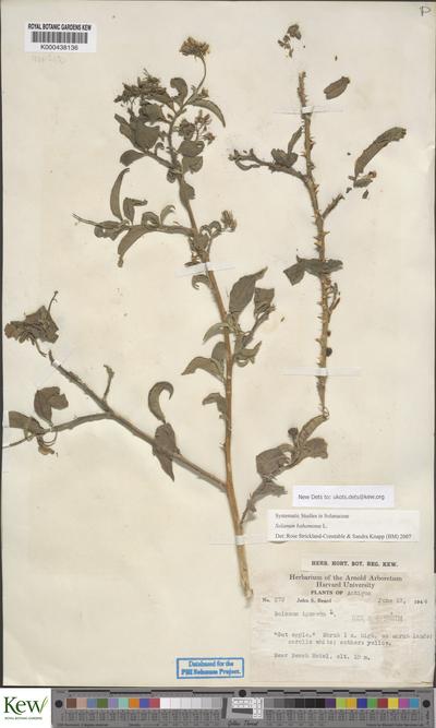 Solanum bahamense L.