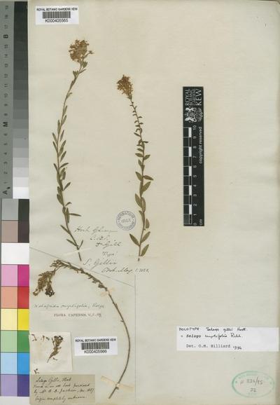 Selago myrtifolia Rchb.