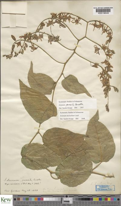 Solanum uncinellum Lindl.