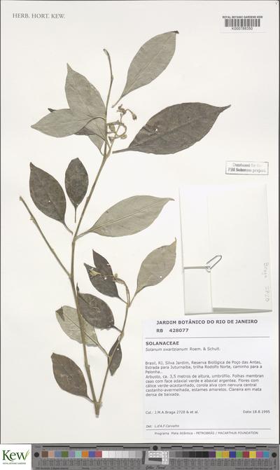 Solanum swartzianum Roem. & Schult.