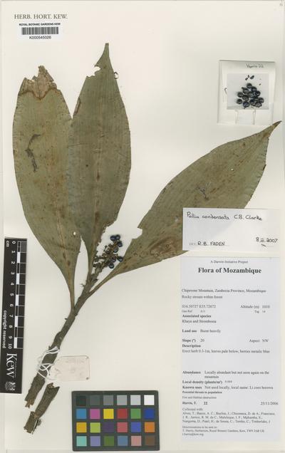 Pollia condensata C. B. Clarke