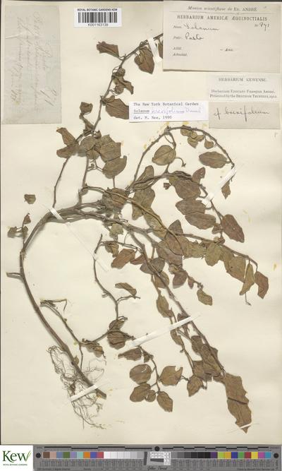 Solanum brevifolium Dunal
