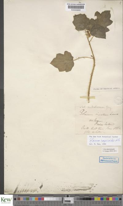 Solanum capsicoides All.