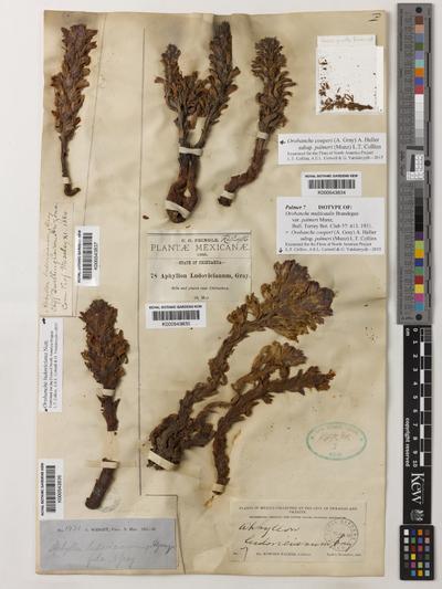 Orobanche cooperi (A.Gray) A.Heller subsp. palmeri (Munz) L.T.Collins