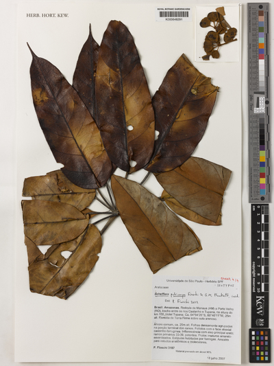Schefflera pubicarpa Fiaschi & G.M.Plunkett