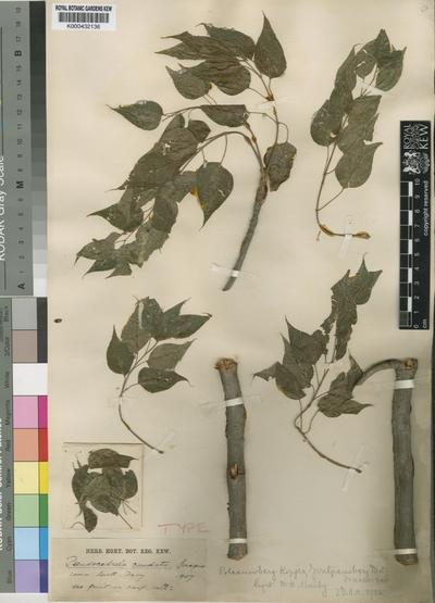 Entandrophragma caudatum Sprague (Sprague)