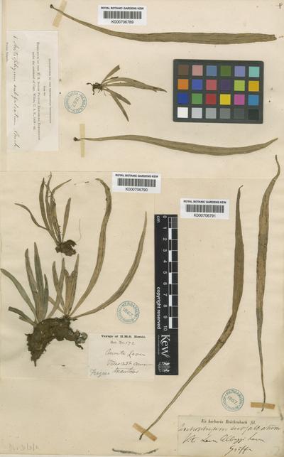 Antrophyum subfalcatum