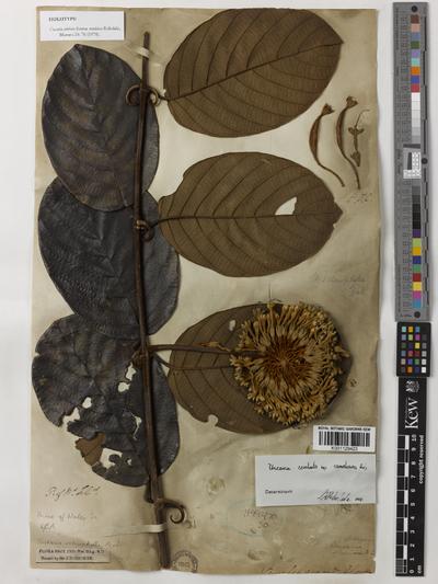 Uncaria cordata (Lour.) Merr. f. sundaica Ridsdale