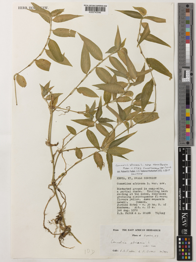 Commelina africana L. subsp. zanzibarica Faden