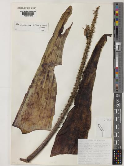 Aloe pulcherrima M.G.Gilbert & Sebsebe