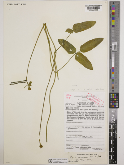 Vigna ambacensis Welw. ex Baker