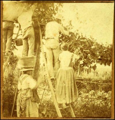 De Carolis, Adolfo  [Raccolta dell'uva]