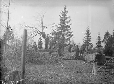 Kukutėlių lauke augęs storiausias ąžuolas, kuris 1934 metais buvo nukirstas