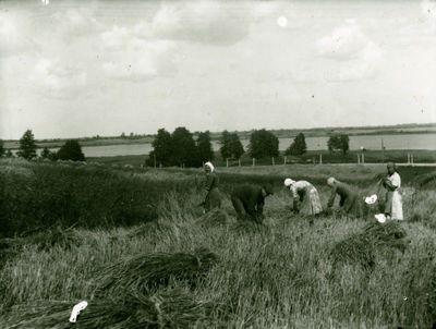 Rugiapjūtė ūkyje Tverečiaus apylinkėse