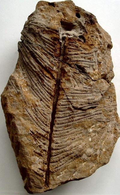 Farnwedel (Weichselia ludowicae STIEHLER)