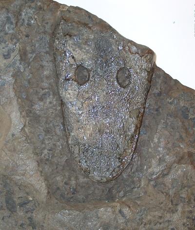 Bielefelder Urlurch Cyclotosaurus buechneri (Holotyp)