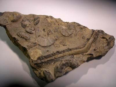 Rippe eines Nothosaurus