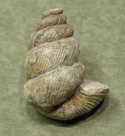 Eubostrychoceras saxonicum