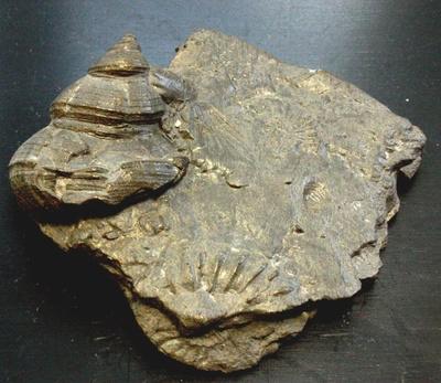 Pleurotomaria und Aegoceras
