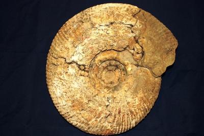 Prodichotomites sp.