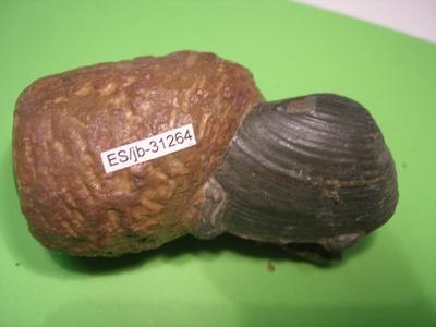 Pleuromya