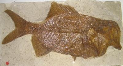 Fisch Hoplopteryx