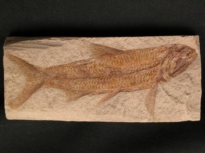 Fisch Sardinius
