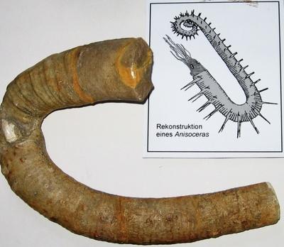 Ammonit Anisoceras-Wohnkammer