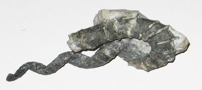 Ammonit Hyphanthoceras