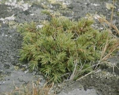Einer : en mangfoldig busk