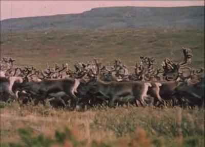 I reingjerdet : Navkkajokka 1972