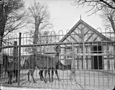 Four llamas in zoo enclosure