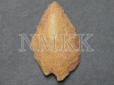 Psammolepis aff. alata , kores zvīņa;