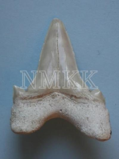 Otodus obliquus , zobs;