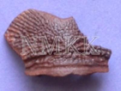 Asterolepis dellei , Nu ( nuchale );