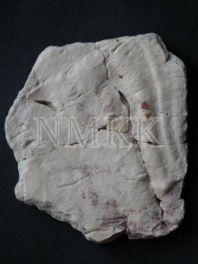 Obruchevia heckeri (Obruchev), 1936, dorsale (fragments);