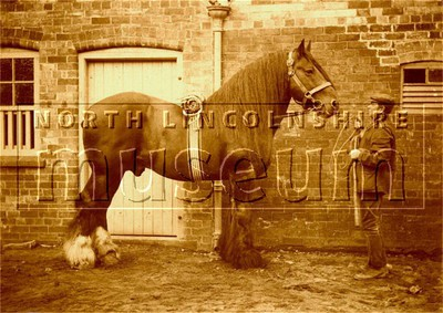 Shire stallion, 'Saxon Sam' at Scawby Hall, Scawby, held by John Tuxford