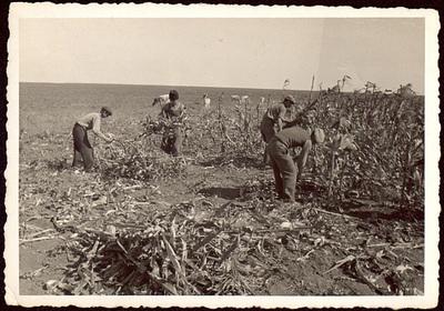 Прибиране на царевица