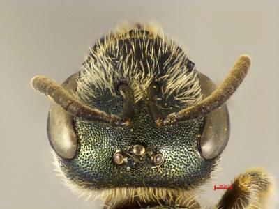 Halictus seladonia opacoviridis