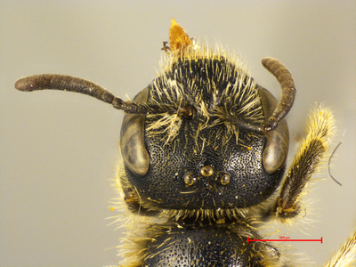 Halictus priesneri MISSING