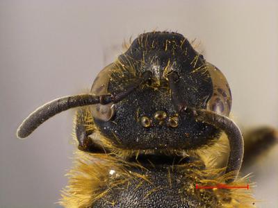Lasioglossum nomion Ebmer