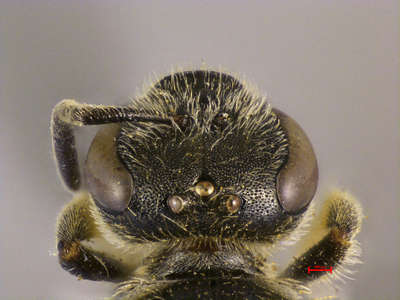 Lasioglossum tyndarus MISSING