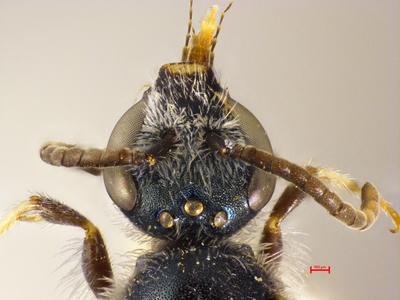 Lasioglossum littorale midas