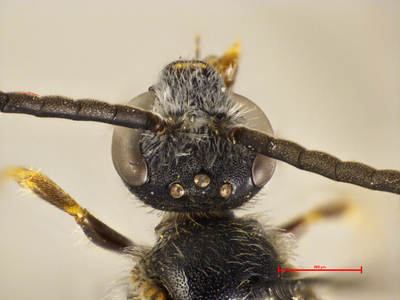 Lasioglossum nemorale MISSING