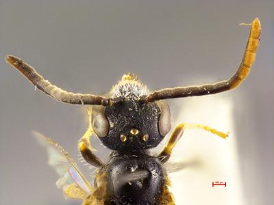 Lasioglossum politum aramaeum
